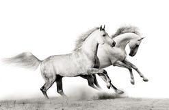 running hingstar Arkivfoto