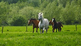 Running horses and foals in a meadow Royalty Free Stock Photo