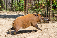 Running hog Royalty Free Stock Photos