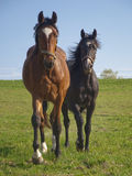 Running horse. Two running horses, brown and black Stock Photography