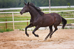 Running horse. On sand field Royalty Free Stock Images