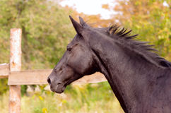 Running horse. Portrait of thoroughbred horse at the farm Royalty Free Stock Images