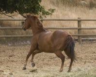 Running horse. Beautiful young horse running wild stock image