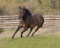 Running horse. Horse running in corral or paddock Stock Photography