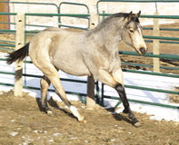 Running Horse. A color image of a buckskin horse running Royalty Free Stock Photo