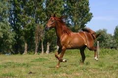 Running horse stock photography