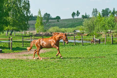 Running horse. Bay horse running in the field. Beautiful red horse Royalty Free Stock Photo