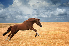 Running horse. Brown horse running gallop in wheat field, picture for chinese year of horse 2014 Royalty Free Stock Images