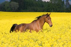 Running horse in colza field Royalty Free Stock Photography