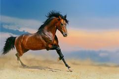 Running horse in the desert. Running bay horse in the desert