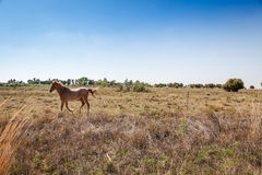 Running Horse. A farm horse runs along the fence line in the free state, South Africa stock photo