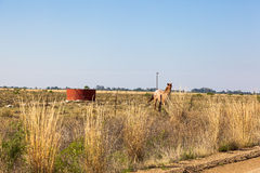 Running Horse. A farm horse stands along the fence line in the free state, South Africa royalty free stock photography