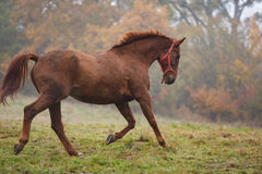 Running horse in the fog Royalty Free Stock Photos