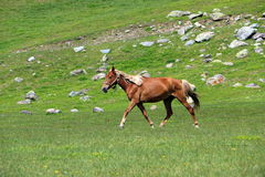 Running horse. Horse running on the grass in the mountains Stock Photo
