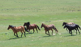 Running Horse Herd. Five horses running in green pasture Royalty Free Stock Image