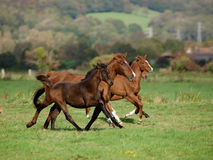 Running Horse Herd Royalty Free Stock Images