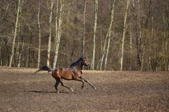 Running horse Stock Image