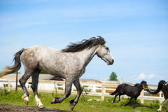 Running horse in meadow. Stock Images