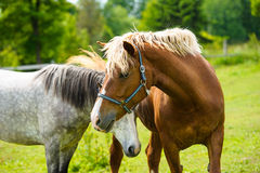 Running horse in meadow. Stock Photo