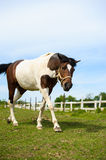 Running horse in meadow. Stock Photos