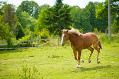 Running horse in meadow. Royalty Free Stock Photography