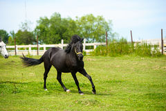 Running horse in meadow. Stock Photography