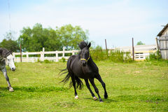 Running horse in meadow. Royalty Free Stock Photo