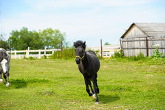 Running horse in meadow. Royalty Free Stock Images