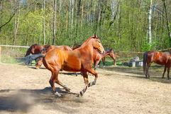 Running horse in paddock Stock Image