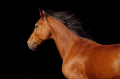 Running horse. Portrait of a young horse on a dark background Stock Image
