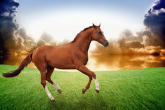 Running horse, sunset. Peaceful background - brown horse running on green grass field, beautiful sunset over sea, picture for chinese year of horse 2014 Stock Image