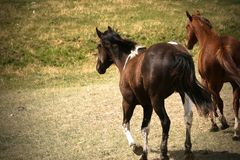 Running Horses Stock Photos