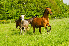 Running horses Royalty Free Stock Photo