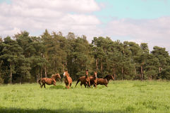 Running horses. Royalty Free Stock Image