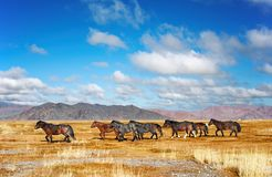 Running horses. Herd of horses in mongolian desert royalty free stock photography