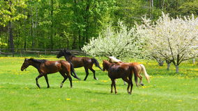 Running horses. Herd of horses running on meadow near blooming trees Stock Photo
