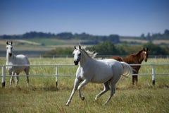 Running horses. Running arabian horses on the pasture stock image