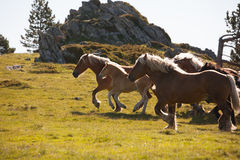 Running Horses. Equine rodinka, wild, Horse in a landscape, shining mane royalty free stock photo