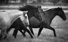 Running Horses. Horses running in a field stock photography