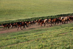 Running horses Royalty Free Stock Photography
