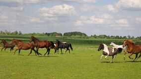The running horses on the green meadow