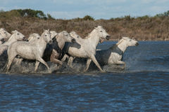 Running horses. Herd of horses running in the camargue in the south of france stock image