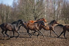 Running horses Royalty Free Stock Photos