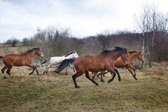 Running horses. Herd of running horses on the dirty meadow at spring time royalty free stock photos