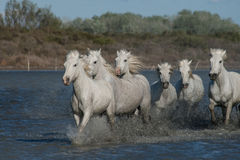 Running horses. A herd of horses running through the marsh of the camargue in southern france stock images