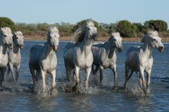 Running horses. Herd of horses running in the marshes of the camargue in southern france royalty free stock photos