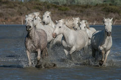 Running horses. Herd of horses running in the marshes of the camargue in southern france stock images