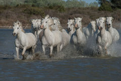 Running horses. A herd of horses running in the marshes of the camargue in southern france stock photos