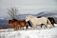 Running horses herd, in snow,. Wild horses from Shar Mountain, Kosovo Royalty Free Stock Image