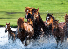 Running Horses in water Royalty Free Stock Photos